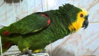 Papagaio imitando a policia