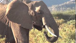 Elephant rumbling