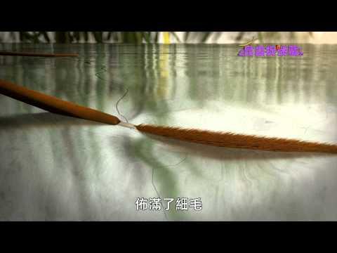 《昆蟲捉迷藏》解開水面上輕盈跳躍的祕密【水面舞者:水黽】 - YouTube