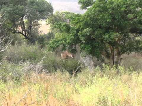 South Africa Safari – Giraffes