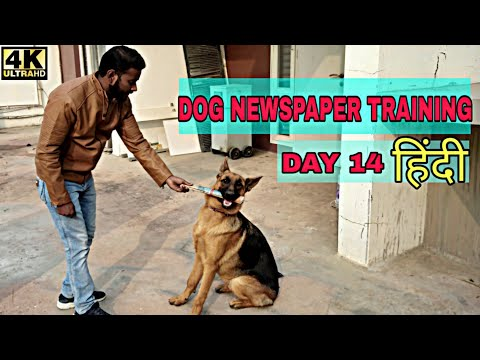 Dog Training - Day 14 || How to Train Your Dog to Fetch Newspaper Trick 4K (Hindi