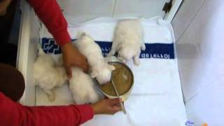 Puppy Bichon Maltes, Toy ( americano), by Clan Ferona. alta calidad.