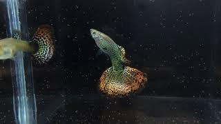 Green Cobra Snakeskin Dragon Fire Tail (SOLD OUT)