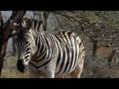 Itchy Zebra in iMfolozi Game Reserve (HD)
