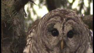 BARRED OWL AMAZING VOCALS!