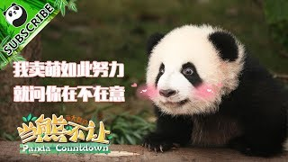 【Panda Countdown】Pandas Don't Need To Try Hard To Be Cute!