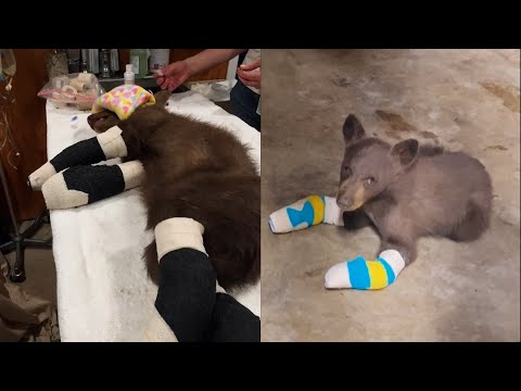 Bear Cub Recovering After All 4 Paws Burned in Wildfire