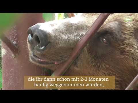 Braunbären in der Ukraine