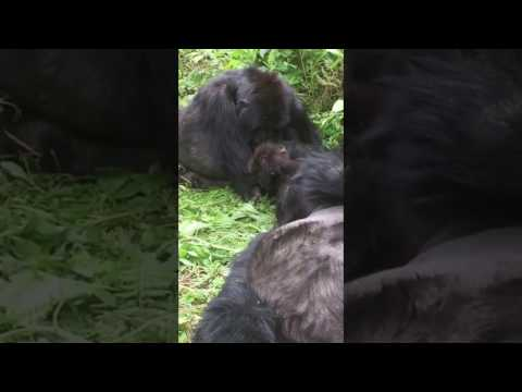 Meeting the gorillas in Rwanda. AMAZING!