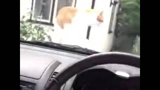 Gato se Assustando com Buzina do Carro!