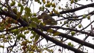 Verderón común hembra / Female Greenfinch (Carduelis chloris)