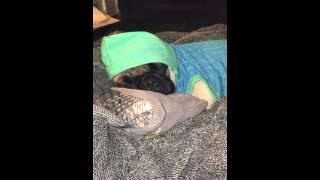 Pug Sleeping In A Sweater