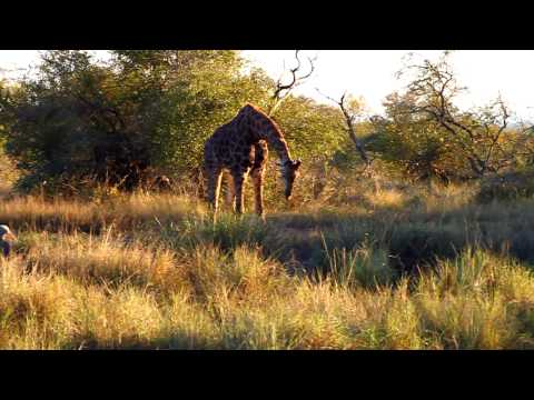 Giraffe Drinks – Kruger National Park, South Africa