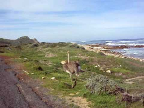 Ostrich – Cape Point, South Africa