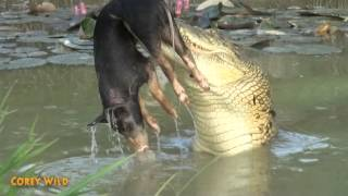 Crocodile VS Wild Boar    Wildlife - Animals