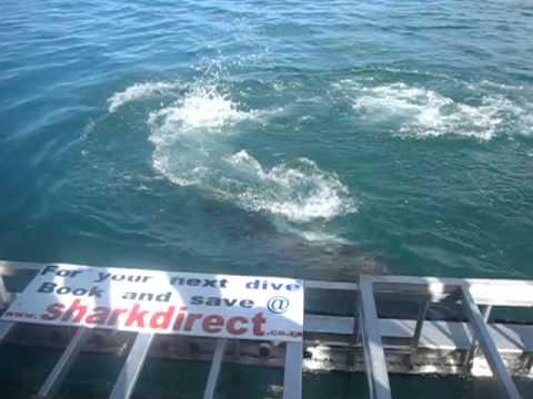 Great White Shark Dive – Gaans Baai – South Africa