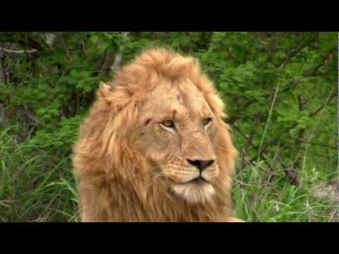 Lions in Southern Africa