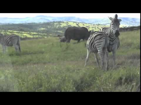 The zebra is outstanding in the acting