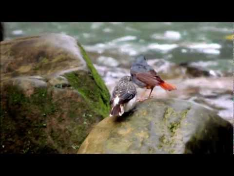 鉛色水鶇 Plumbeous water redstart - 餵食幼鳥 feeding chicks - YouTube