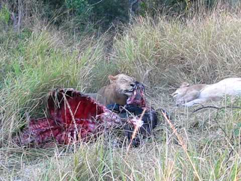 Lion Crushing Buffalo Carcass