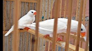 Curiosidades sobre Diamantes Mandarins Albinos