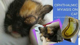 Myiasis in cat eyes!! || Belatung memakan habis bola mata kucing!!