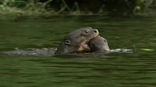 Otter Family Kills Caiman | BBC Earth