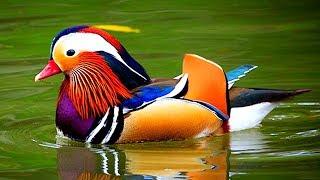সবথেকে সুন্দর ১০টি হাঁস | Exotic Sea Ducks: Top 10 Most Stunningly Beautiful Birds in the World