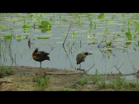 SOUTH AFRICA itchy white-faced whistling ducks at Kruger national park (HD-video).mp4