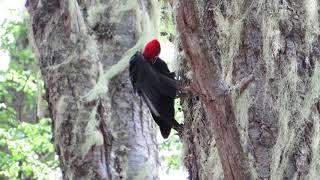 Magellanic Woodpecker, Chile / Carpintero Negro, Chile / Campephilus magellanicus