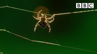 Amazing Darwin's Bark spider spins a massive web - The Hunt: Episode 1 preview - BBC One
