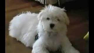 Toby Maltese Puppy