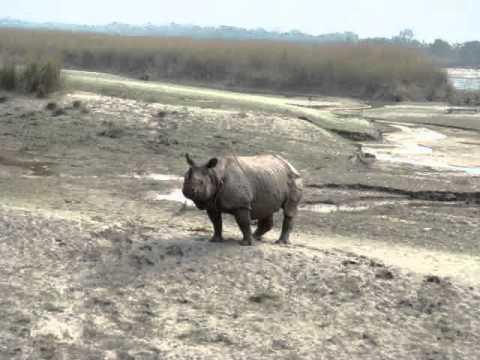 Næsehorn på stranden.MPG