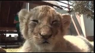 Tigre sviene video divertente