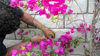 Bougainvillia attaching to a wall