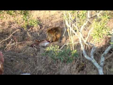 Male Lion eats impala in Sabi Sands, South Africa – Safari