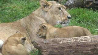 CWP Lion Cub Triplets with mum Kanha