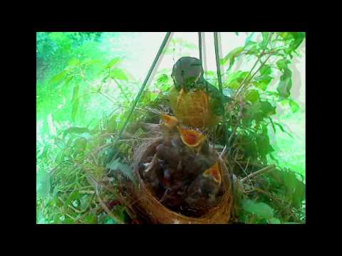 Robins - 4 Eggs and 4 Weeks - YouTube