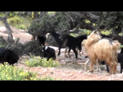 Moroccan goats love to climb trees