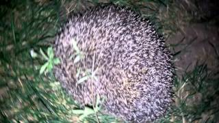 Self Defence Mechanism Of a Hedgehog.