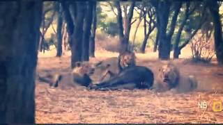Leões, os reis africanos