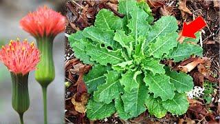 Uma Planta PANC que pode mudar sua vida (Vitiligo, Cancer, Faringite, Infeções, Dores)