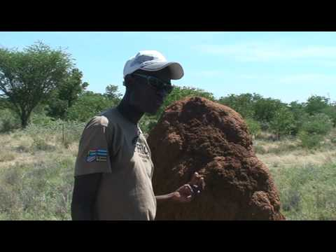 Eating termite mounds