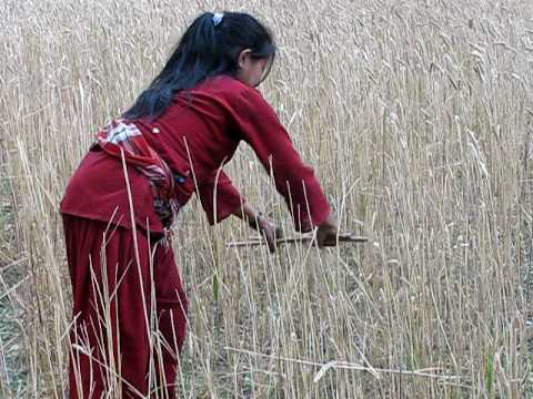 2010 Nepal – harvesting wheat