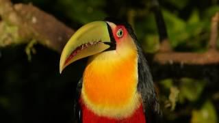 fauna brasileira TUCANO BICO VERDE animal selvagem silvestre curioso mata atlântica pampas brazilian