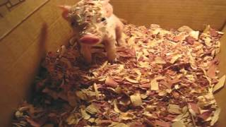 Baby Pig Waking Up