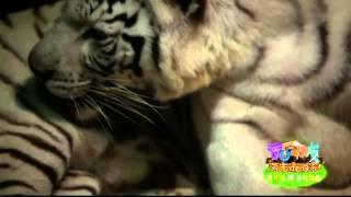《奇妙的朋友》看点 Wonderful Friends 02/14 Recap: 萌宠逗趣瞬间之有洁癖的大白虎-White tiger's cleanliness obsession【湖南卫视官方版】