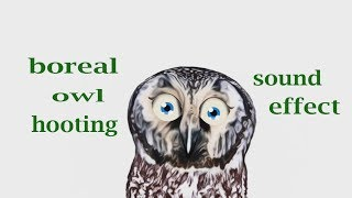 How A Boreal Owl Hooting - Sound Effect - Animation