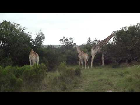 Sibuya game reserve South Africa game drive safari Giraffe