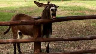 Poncho the Angry Donkey Braying Loudly